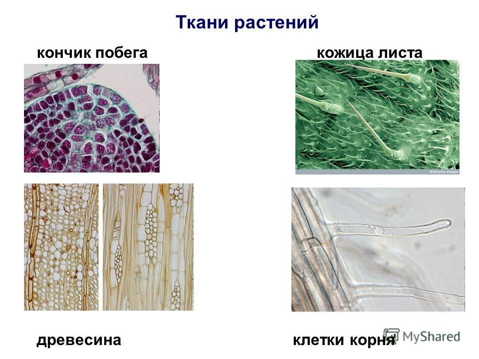 Ткани растений кончик побега кожица листа древесина клетки корня