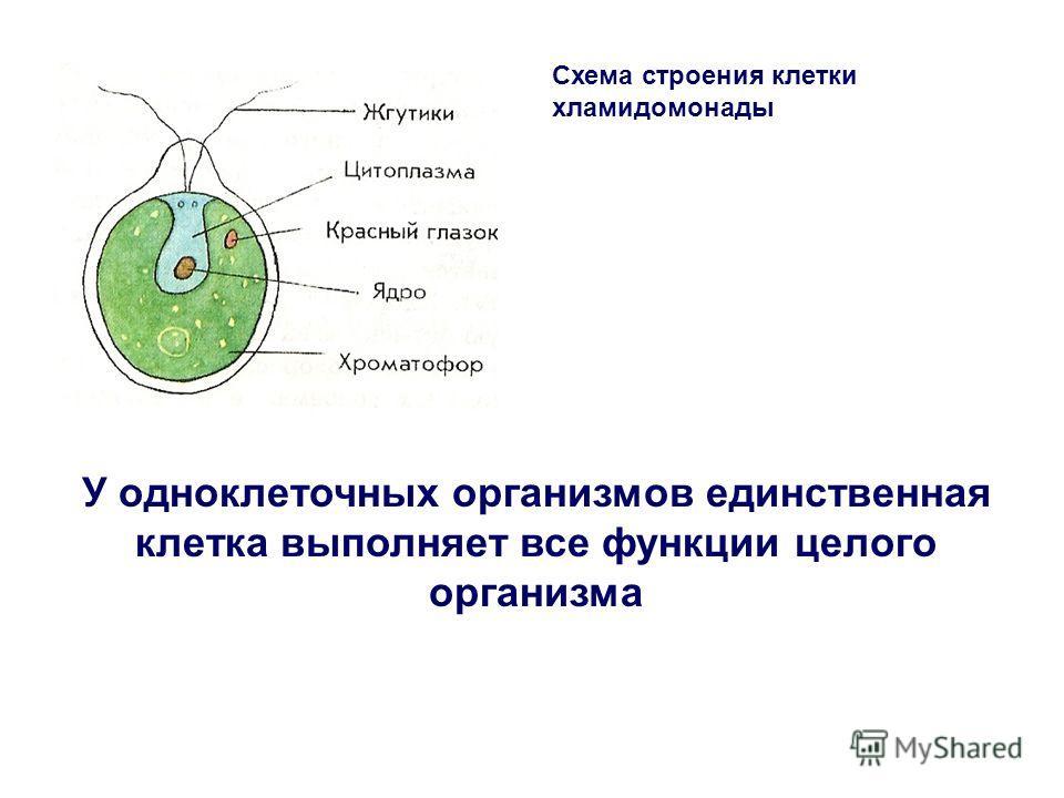 Схема строения клетки хламидомонады У одноклеточных организмов единственная клетка выполняет все функции целого организма
