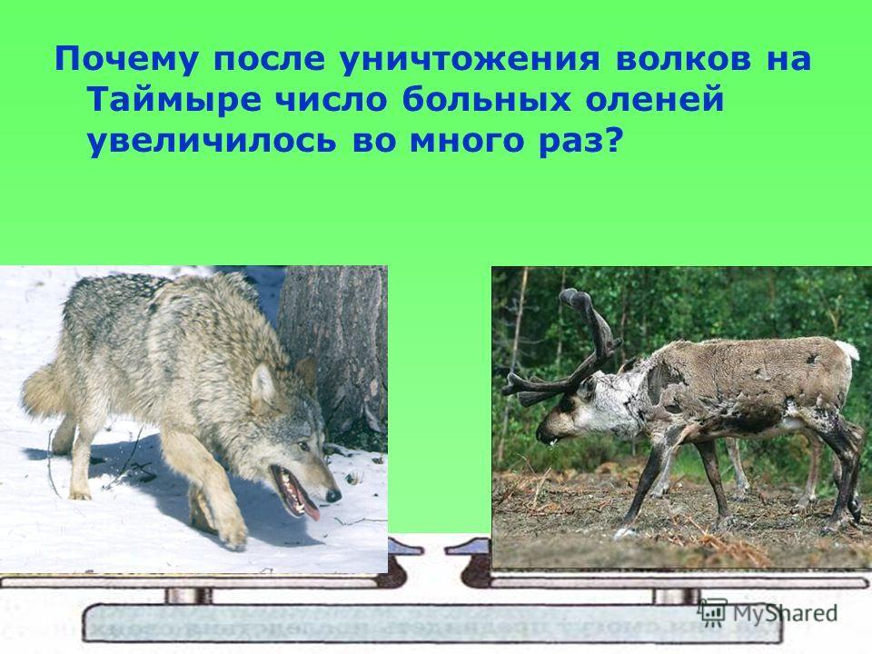Почему после уничтожения волков на Таймыре число больных оленей увеличилось во много раз?