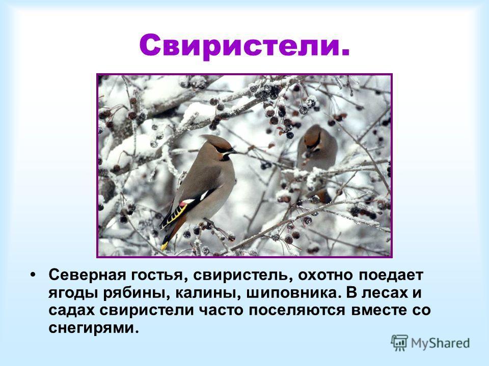 Свиристели. Северная гостья, свиристель, охотно поедает ягоды рябины, калины, шиповника. В лесах и садах свиристели часто поселяются вместе со снегирями.