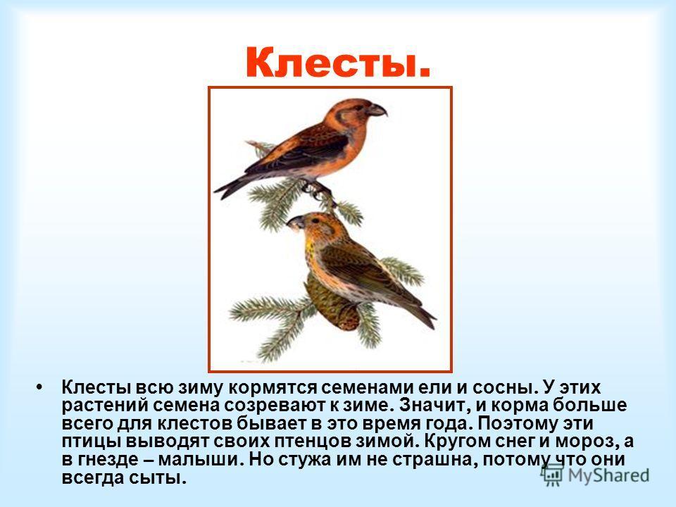 Клесты. Клесты всю зиму кормятся семенами ели и сосны. У этих растений семена созревают к зиме. Значит, и корма больше всего для клестов бывает в это время года. Поэтому эти птицы выводят своих птенцов зимой. Кругом снег и мороз, а в гнезде – малыши.