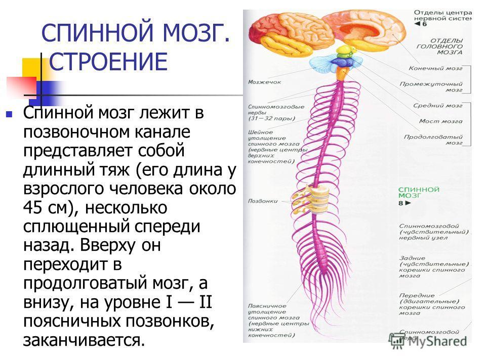 СПИННОЙ МОЗГ. СТРОЕНИЕ Спинной мозг лежит в позвоночном канале представляет собой длинный тяж (его длина у взрослого человека около 45 см), несколько сплющенный спереди назад. Вверху он переходит в продолговатый мозг, а внизу, на уровне I II поясничн