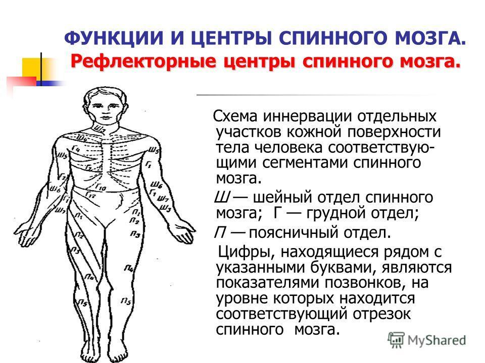 Рефлекторные центры спинного мозга. ФУНКЦИИ И ЦЕНТРЫ СПИННОГО МОЗГА. Рефлекторные центры спинного мозга. Схема иннервации отдельных участков кожной поверхности тела человека соответствую- щими сегментами спинного мозга. Ш шейный отдел спинного мозга;