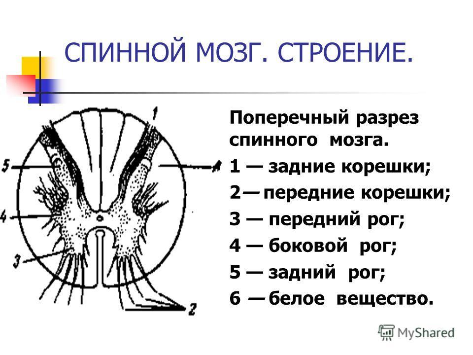 СПИННОЙ МОЗГ. СТРОЕНИЕ. Поперечный разрез спинного мозга. 1 задние корешки; 2 передние корешки; 3 передний рог; 4 боковой рог; 5 задний рог; 6 белое вещество.