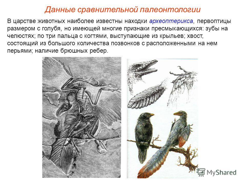 В царстве животных наиболее известны находки археоптерикса, первоптицы размером с голубя, но имеющей многие признаки пресмыкающихся: зубы на челюстях; по три пальца с когтями, выступающие из крыльев; хвост, состоящий из большого количества позвонков