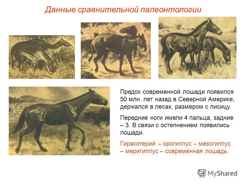 Предок современной лошади появился 50 млн. лет назад в Северной Америке, держался в лесах, размером с лисицу. Передние ноги имели 4 пальца, задние – 3. В связи с остепнением появились лошади. Гиракотерий – орогиппус – мезогиппус – меригиппус – соврем