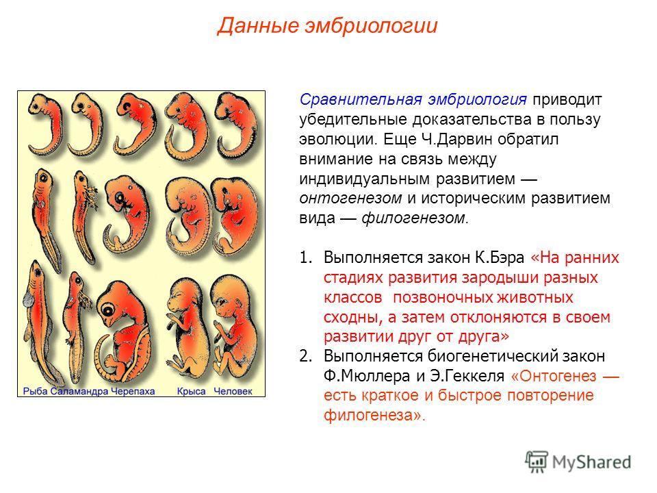 Сравнительная эмбриология приводит убедительные доказательства в пользу эволюции. Еще Ч.Дарвин обратил внимание на связь между индивидуальным развитием онтогенезом и историческим развитием вида филогенезом. 1.Выполняется закон К.Бэра «На ранних стади