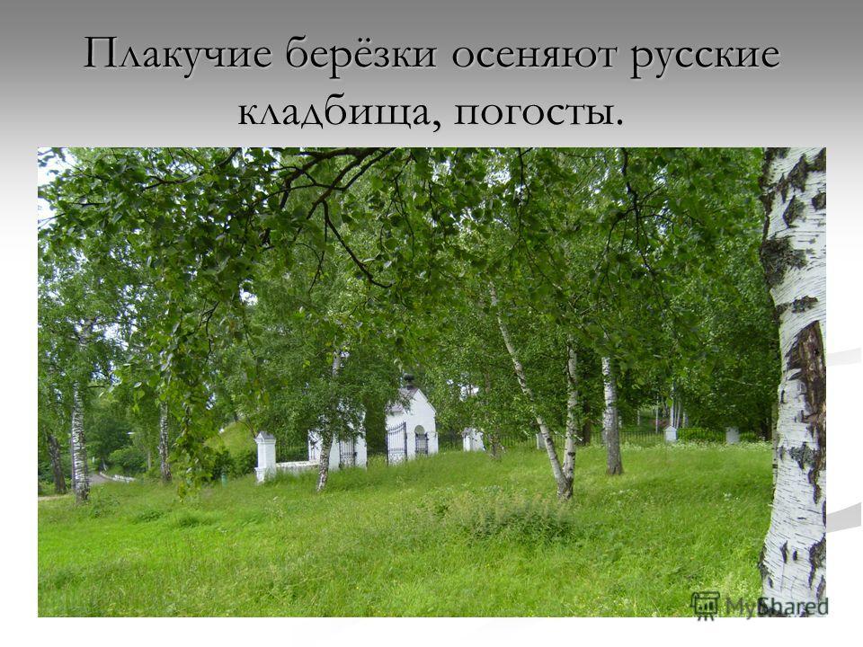 Плакучие берёзки осеняют русские кладбища, погосты.