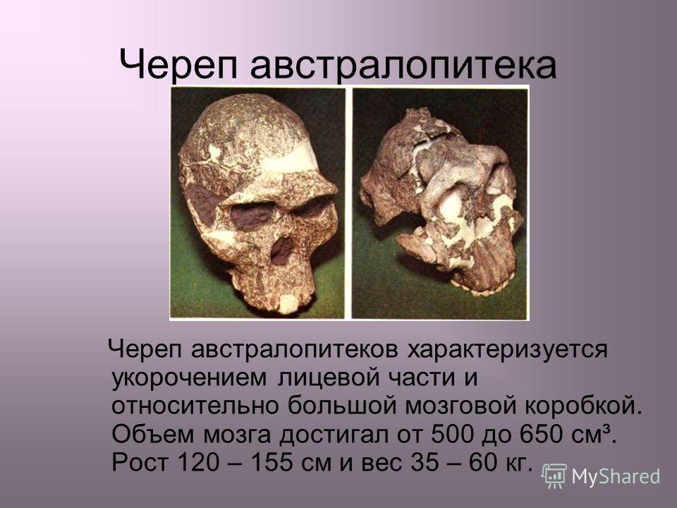 Череп австралопитека Череп австралопитеков характеризуется укорочением лицевой части и относительно большой мозговой коробкой. Объем мозга достигал от 500 до 650 см³. Рост 120 – 155 см и вес 35 – 60 кг.