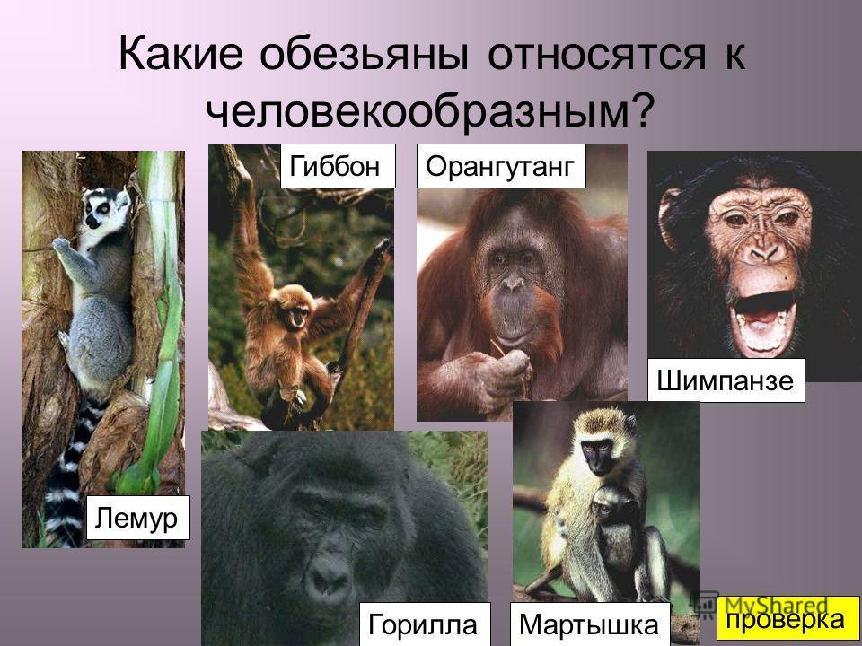 Какие обезьяны относятся к человекообразным? Лемур ГиббонОрангутанг Горилла Шимпанзе Мартышка проверка