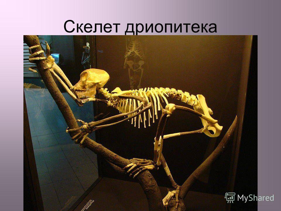 Скелет дриопитека