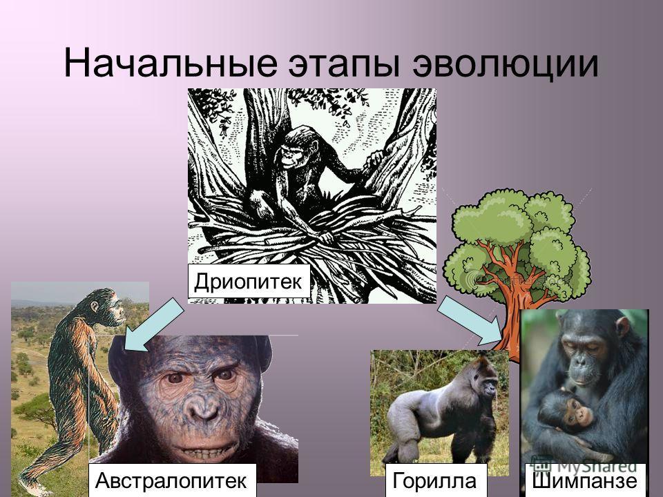 Начальные этапы эволюции Дриопитек Горилла Шимпанзе Австралопитек