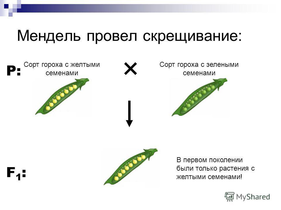 Мендель провел скрещивание: Сорт гороха с желтыми семенами Сорт гороха с зелеными семенами P: F1:F1: В первом поколении были только растения с желтыми семенами!