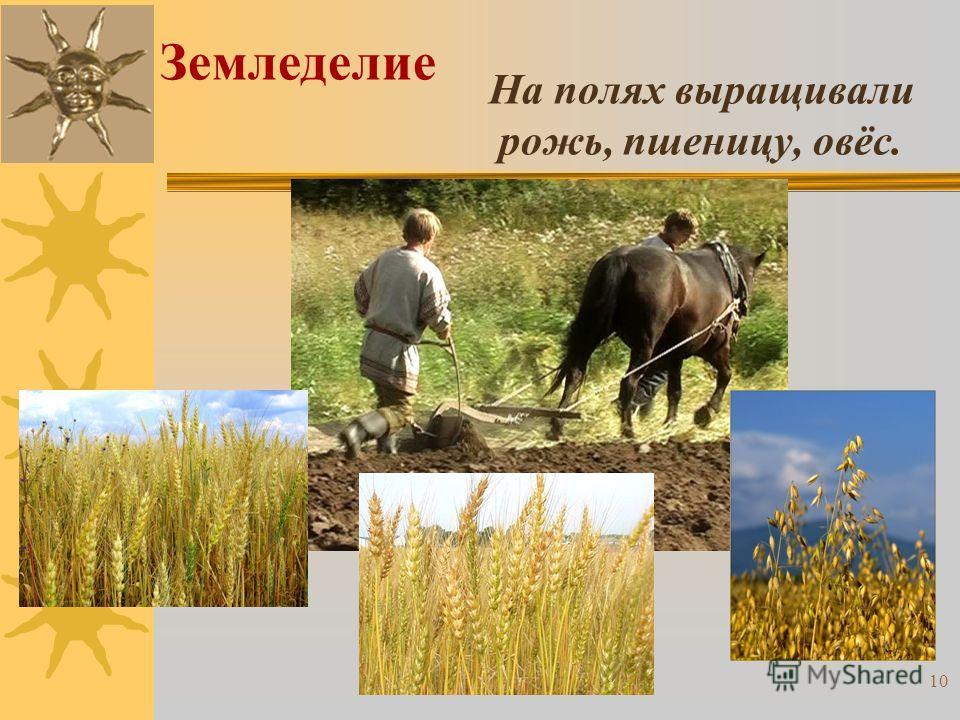 На полях выращивали рожь, пшеницу, овёс. Земледелие 10