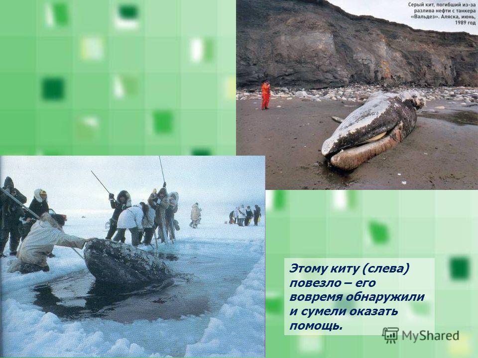Этому киту (слева) повезло – его вовремя обнаружили и сумели оказать помощь.