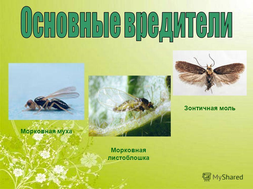 Морковная муха Зонтичная моль Морковная листоблошка