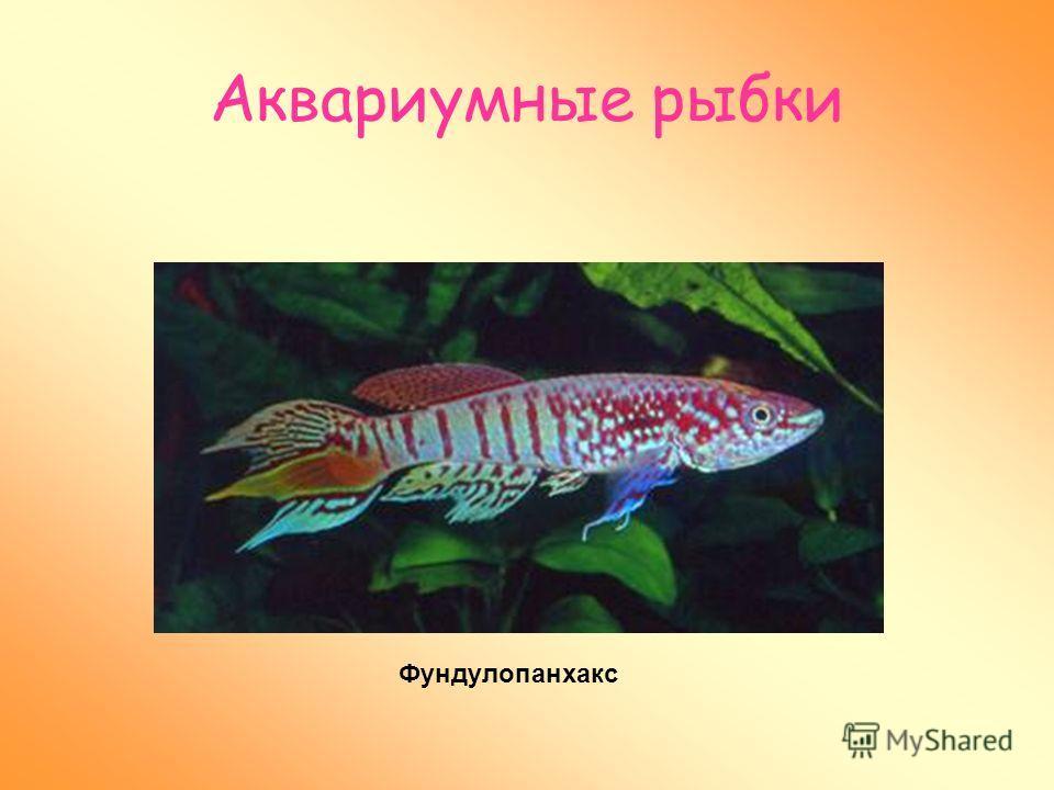 Аквариумные рыбки Наблюдая за рыбками в аквариуме – улучшается настроение. Хромафиосемионы