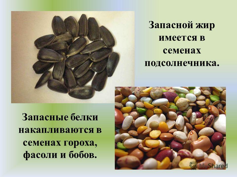 Запасной жир имеется в семенах подсолнечника. Запасные белки накапливаются в семенах гороха, фасоли и бобов.