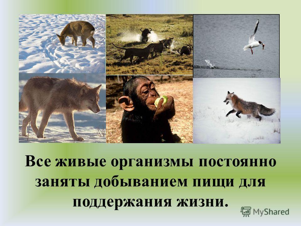 Все живые организмы постоянно заняты добыванием пищи для поддержания жизни.
