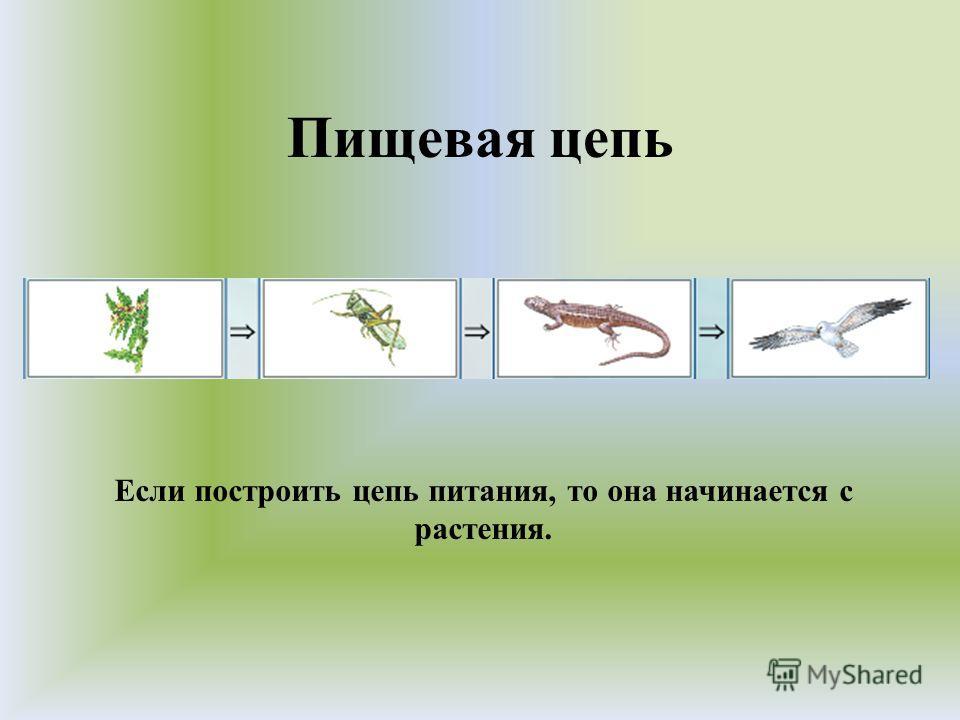 Пищевая цепь Если построить цепь питания, то она начинается с растения.
