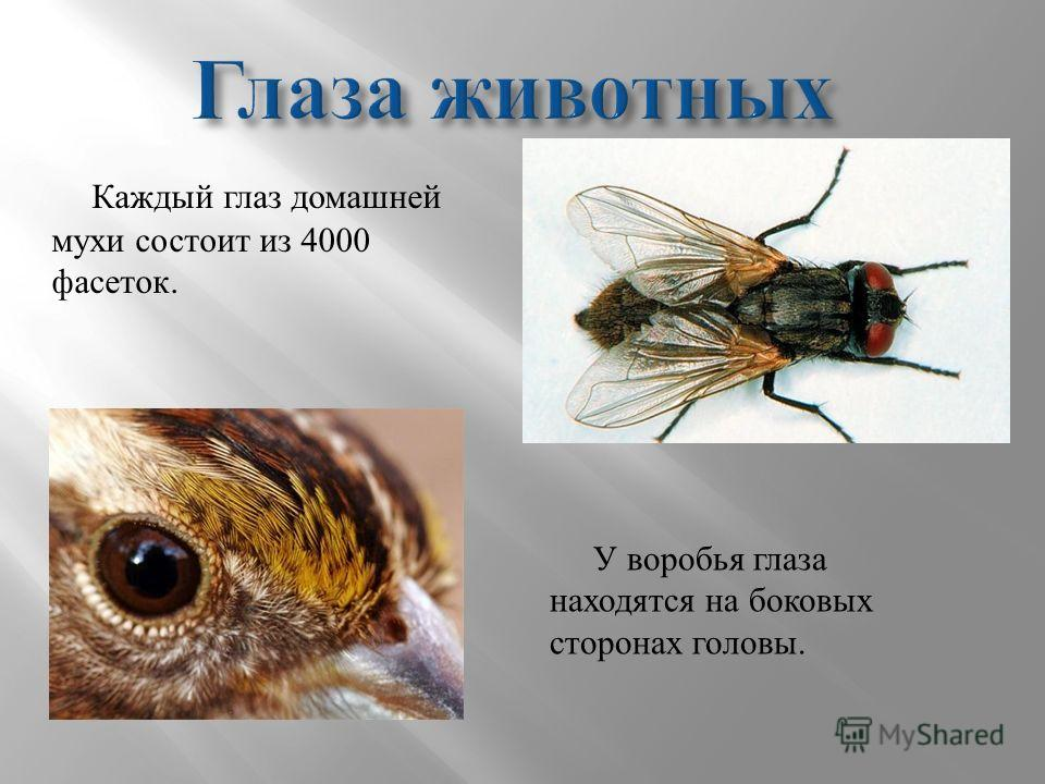 Каждый глаз домашней мухи состоит из 4000 фасеток. У воробья глаза находятся на боковых сторонах головы.