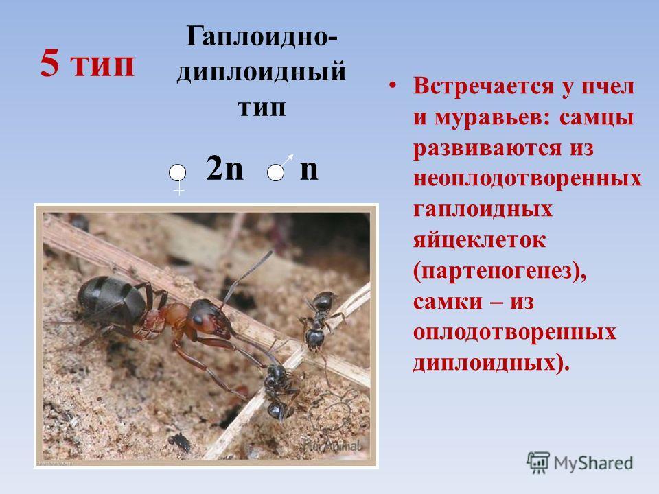 5 тип Встречается у пчел и муравьев: самцы развиваются из неоплодотворенных гаплоидных яйцеклеток (партеногенез), самки – из оплодотворенных диплоидных). Гаплоидно- диплоидный тип 2n n