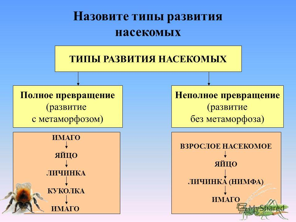 ТИПЫ РАЗВИТИЯ НАСЕКОМЫХ Назовите типы развития насекомых Полное превращение (развитие с метаморфозом) Неполное превращение (развитие без метаморфоза) ИМАГО ЯЙЦО ЛИЧИНКА КУКОЛКА ИМАГО ВЗРОСЛОЕ НАСЕКОМОЕ ЯЙЦО ЛИЧИНКА (НИМФА) ИМАГО