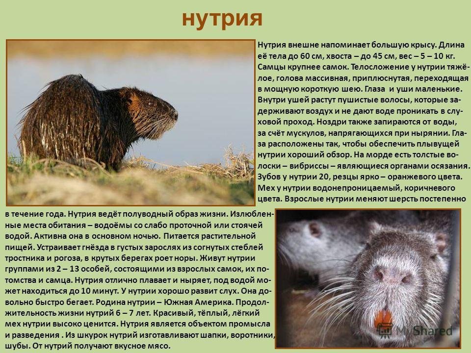 нутрия Нутрия внешне напоминает большую крысу. Длина её тела до 60 см, хвоста – до 45 см, вес – 5 – 10 кг. Самцы крупнее самок. Телосложение у нутрии тяжё- лое, голова массивная, приплюснутая, переходящая в мощную короткую шею. Глаза и уши маленькие.