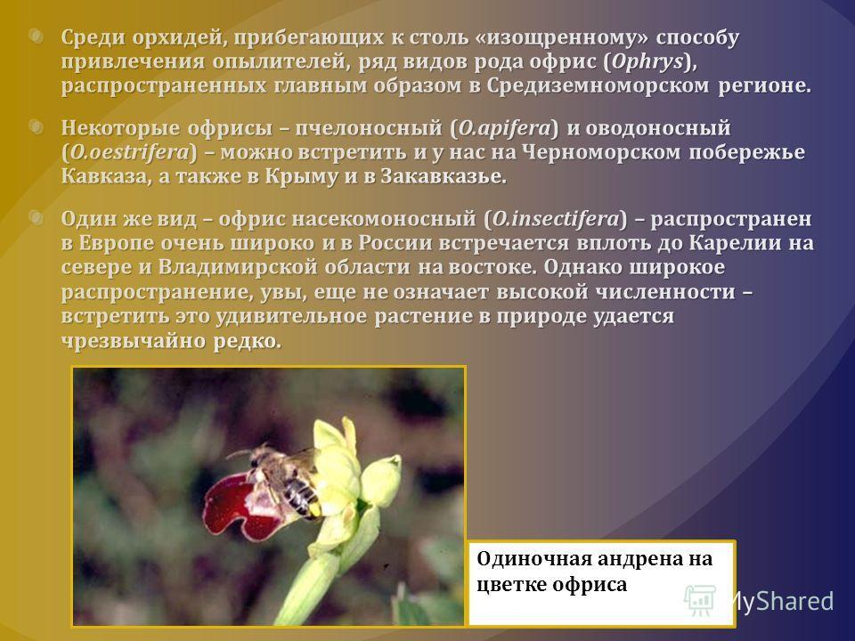 Одиночная андрена на цветке офриса