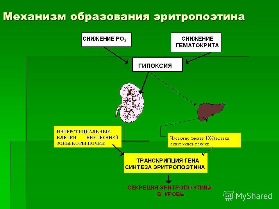 Механизм образования эритропоэтина