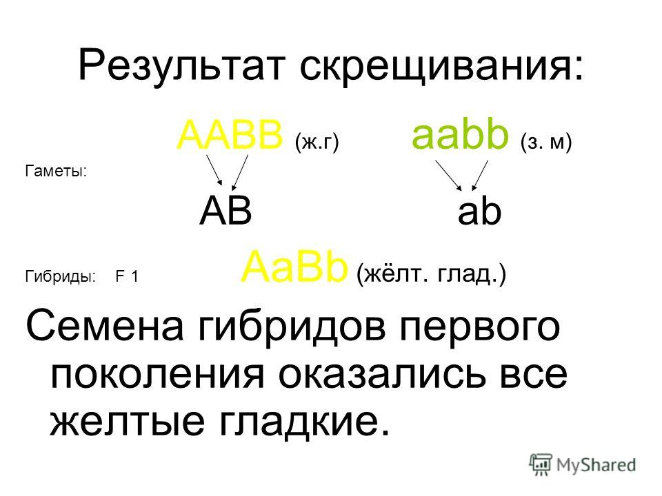 Результат скрещивания: AABB (ж.г) aabb (з. м) Гаметы: AB ab Гибриды: F 1 AaBb (жёлт. глад.) Семена гибридов первого поколения оказались все желтые гладкие.