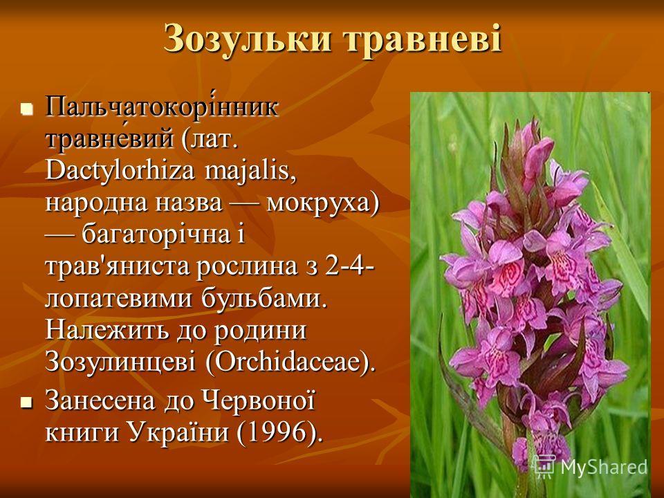 Зозульки травневі Пальчатокорі́нник травне́вий (лат. Dactylorhiza majalis, народна назва мокруха) багаторічна і трав'яниста рослина з 2-4- лопатевими бульбами. Належить до родини Зозулинцеві (Orchidaceae). Пальчатокорі́нник травне́вий (лат. Dactylorh