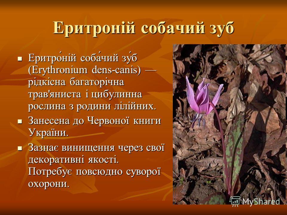 Еритроній собачий зуб Еритро́ній соба́чий зу́б (Erythronium dens-canis) рідкісна багаторічна трав'яниста і цибулинна рослина з родини лілійних. Еритро́ній соба́чий зу́б (Erythronium dens-canis) рідкісна багаторічна трав'яниста і цибулинна рослина з р