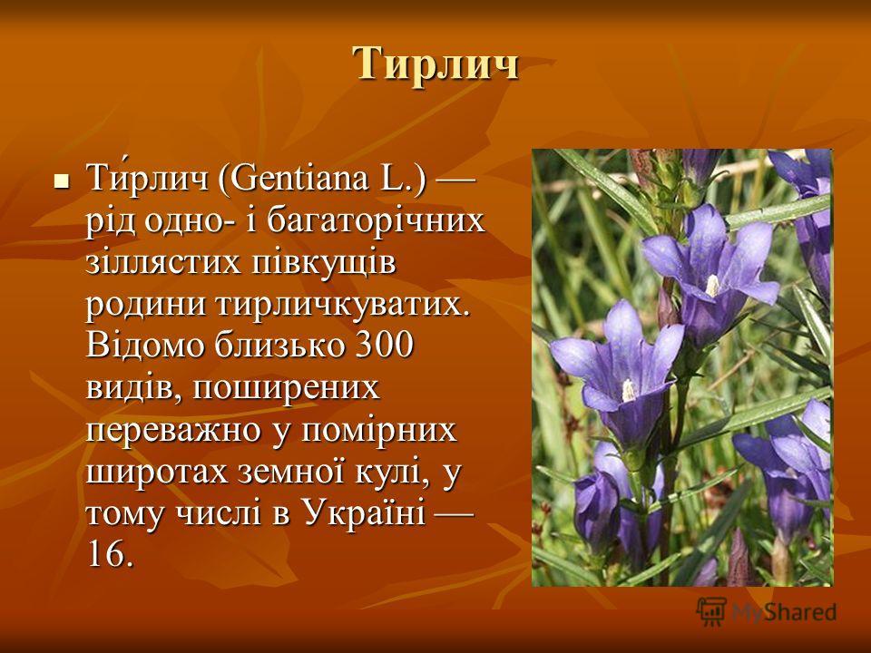 Тирлич Ти́рлич (Gentiana L.) рід одно- і багаторічних зіллястих півкущів родини тирличкуватих. Відомо близько 300 видів, поширених переважно у помірних широтах земної кулі, у тому числі в Україні 16. Ти́рлич (Gentiana L.) рід одно- і багаторічних зіл