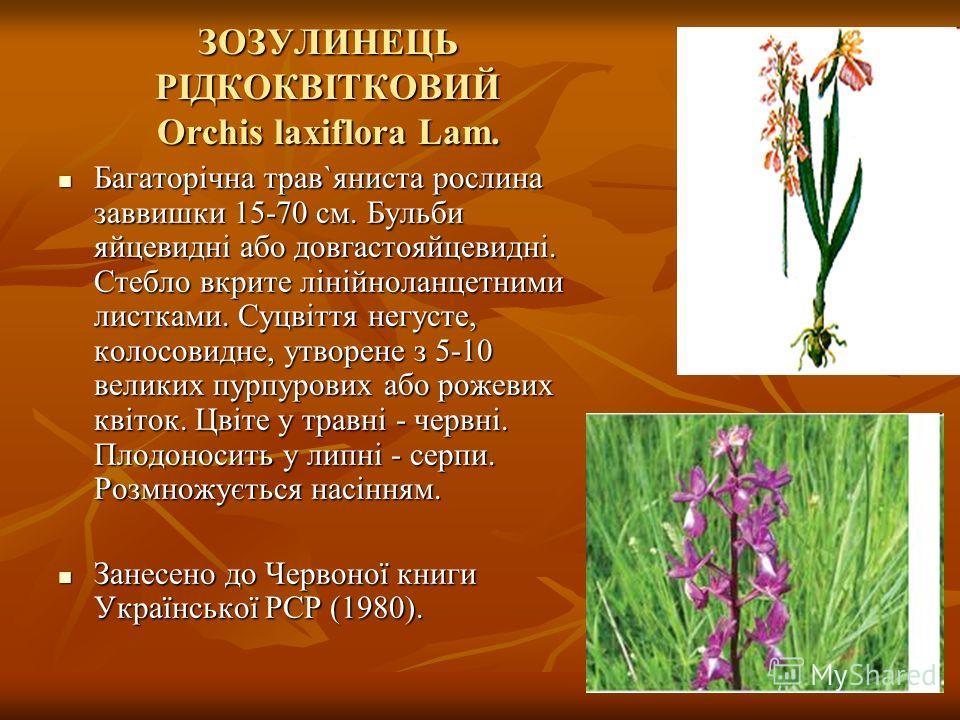 ЗОЗУЛИНЕЦЬ РІДКОКВІТКОВИЙ Orchis laxiflora Lam. Багаторічна трав`яниста рослина заввишки 15-70 см. Бульби яйцевидні або довгастояйцевидні. Стебло вкрите лінійноланцетними листками. Суцвіття негусте, колосовидне, утворене з 5-10 великих пурпурових або