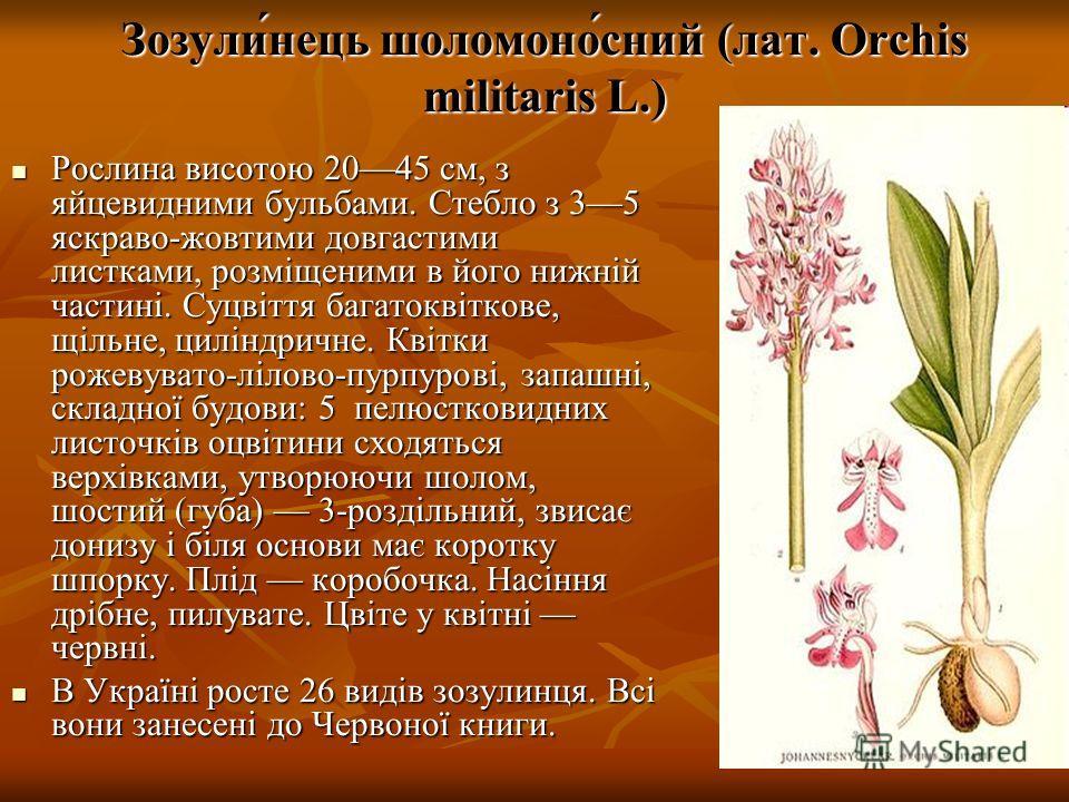 Зозули́нець шоломоно́сний (лат. Orchis militaris L.) Рослина висотою 2045 см, з яйцевидними бульбами. Стебло з 35 яскраво-жовтими довгастими листками, розміщеними в його нижній частині. Суцвіття багатоквіткове, щільне, циліндричне. Квітки рожевувато-