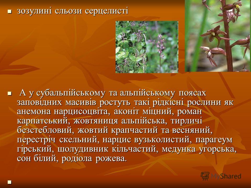 зозулині сльози серцелисті зозулині сльози серцелисті А у субальпійському та альпійському поясах заповідних масивів ростуть такі рідкісні рослини як анемона нарцисоцвіта, аконіт міцний, роман карпатський, жовтяниця альпійська, тирличі безстебловий, ж