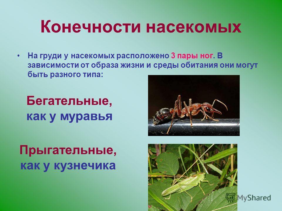 Конечности насекомых На груди у насекомых расположено 3 пары ног. В зависимости от образа жизни и среды обитания они могут быть разного типа: Бегательные, как у муравья Прыгательные, как у кузнечика