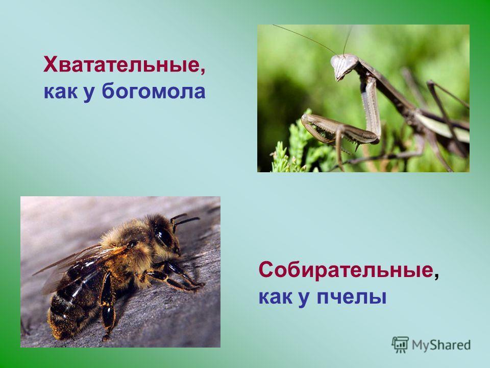 Хватательные, как у богомола Собирательные, как у пчелы