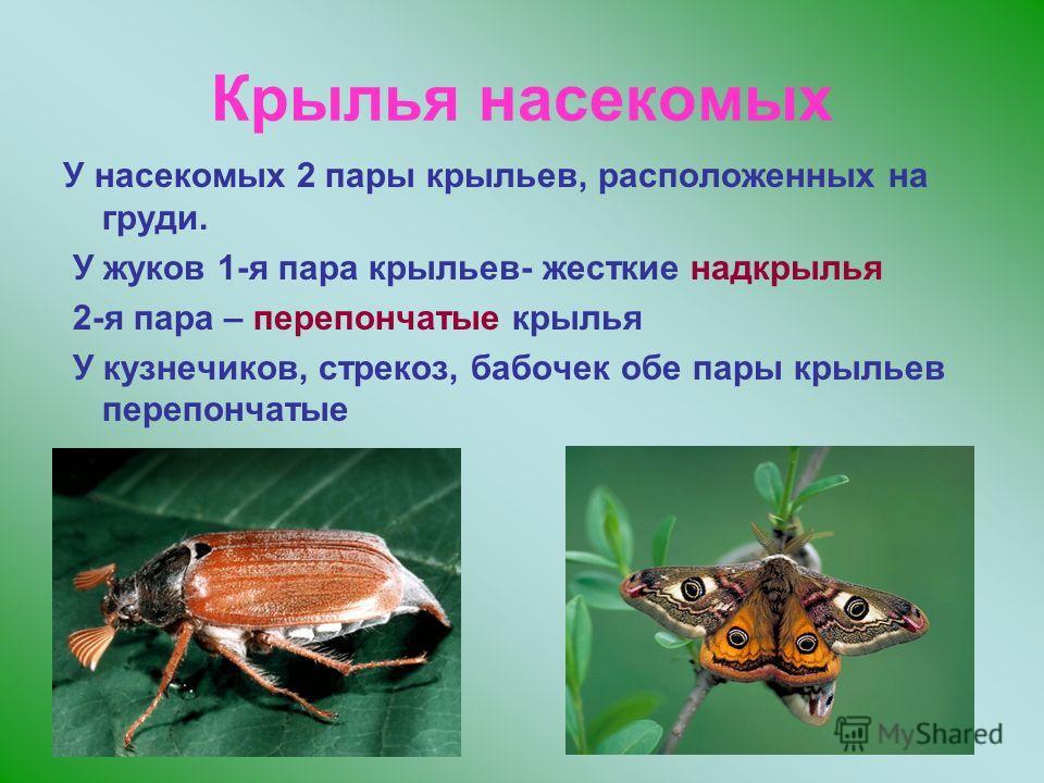 Крылья насекомых У насекомых 2 пары крыльев, расположенных на груди. У жуков 1-я пара крыльев- жесткие надкрылья 2-я пара – перепончатые крылья У кузнечиков, стрекоз, бабочек обе пары крыльев перепончатые