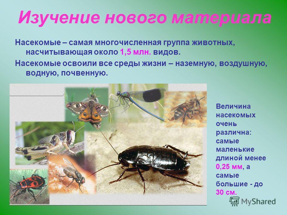 Насекомые – самая многочисленная группа животных, насчитывающая около 1,5 млн. видов. Насекомые освоили все среды жизни – наземную, воздушную, водную, почвенную. Изучение нового материала Величина насекомых очень различна: самые маленькие длиной мене