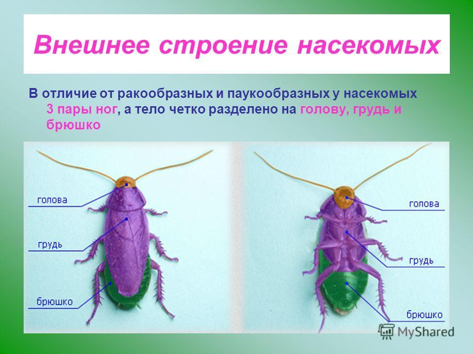 Внешнее строение насекомых В отличие от ракообразных и паукообразных у насекомых 3 пары ног, а тело четко разделено на голову, грудь и брюшко