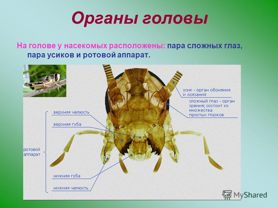 Органы головы На голове у насекомых расположены: пара сложных глаз, пара усиков и ротовой аппарат.