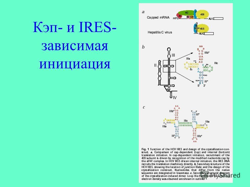 Кэп- и IRES- зависимая инициация