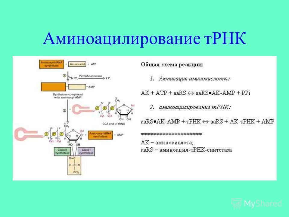 Аминоацилирование тРНК