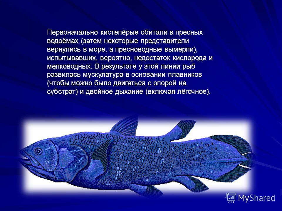 Первоначально кистепёрые обитали в пресных водоёмах (затем некоторые представители вернулись в море, а пресноводные вымерли), испытывавших, вероятно, недостаток кислорода и мелководных. В результате у этой линии рыб развилась мускулатура в основании