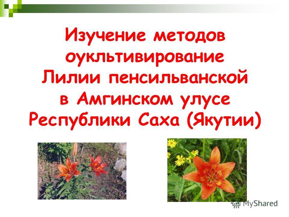 Изучение методов оукльтивирование Лилии пенсильванской в Амгинском улусе Республики Саха (Якутии)