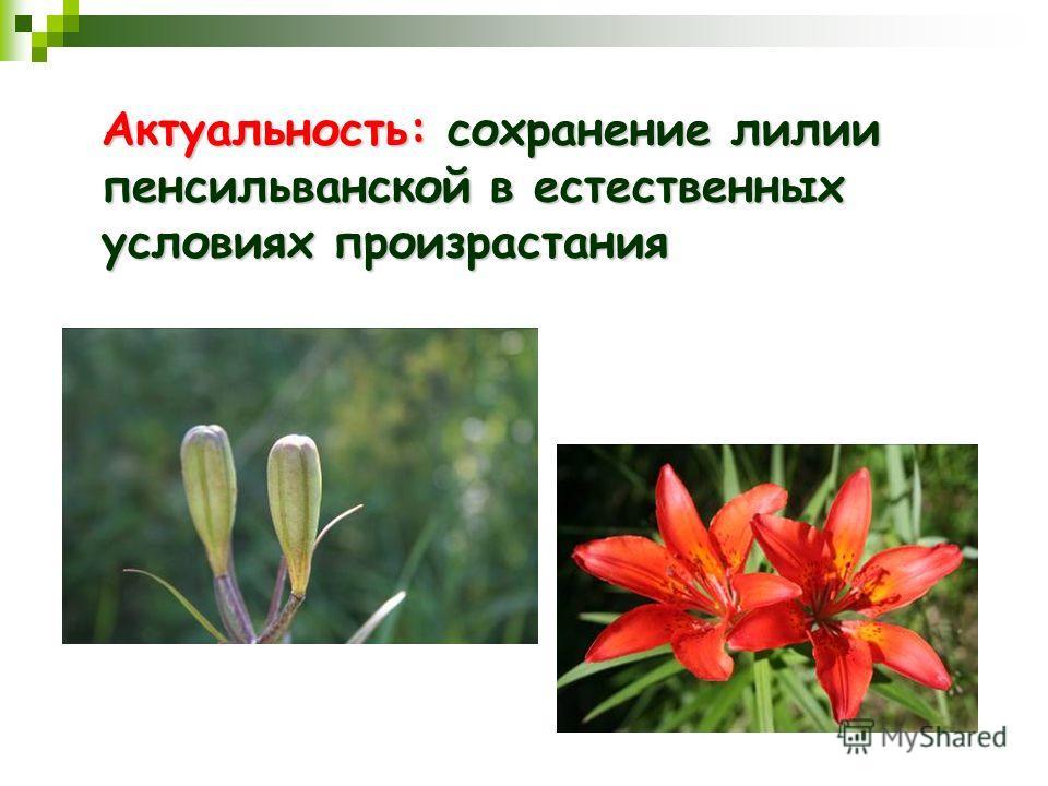 Актуальность: сохранение лилии пенсильванской в естественных условиях произрастания