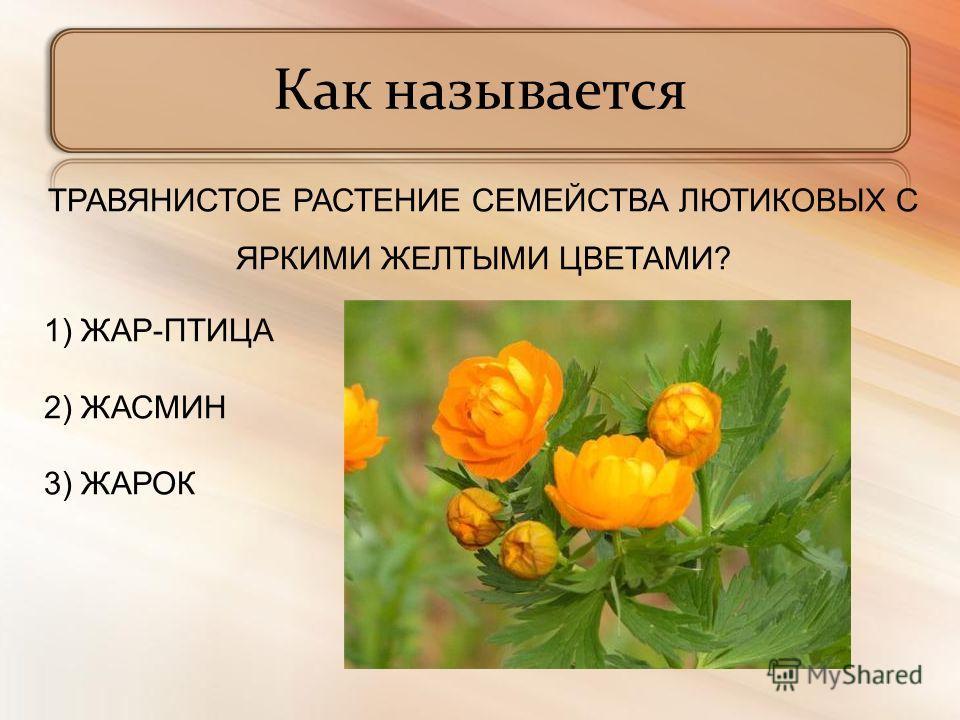 ТРАВЯНИСТОЕ РАСТЕНИЕ СЕМЕЙСТВА ЛЮТИКОВЫХ С ЯРКИМИ ЖЕЛТЫМИ ЦВЕТАМИ? 1) ЖАР-ПТИЦА 2) ЖАСМИН 3) ЖАРОК