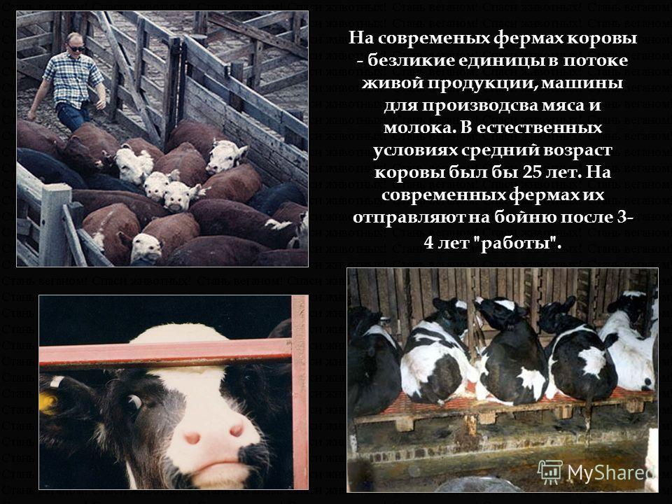 На современых фермах коровы - безликие единицы в потоке живой продукции, машины для производсва мяса и молока. В естественных условиях средний возраст коровы был бы 25 лет. На современных фермах их отправляют на бойню после 3- 4 лет работы.